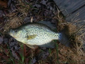 crappie in the grass .jpg