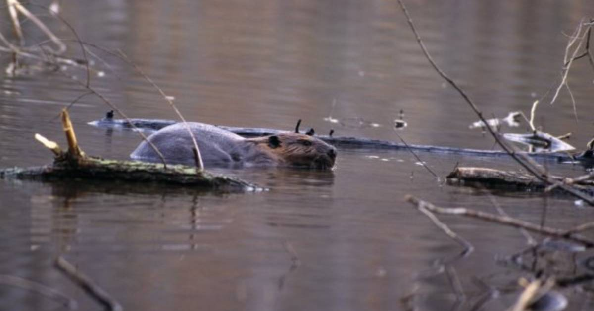 A beaver partially submerged in water surrounded by sticks