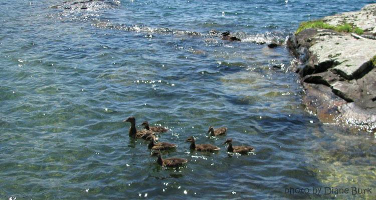 ducks in lake george