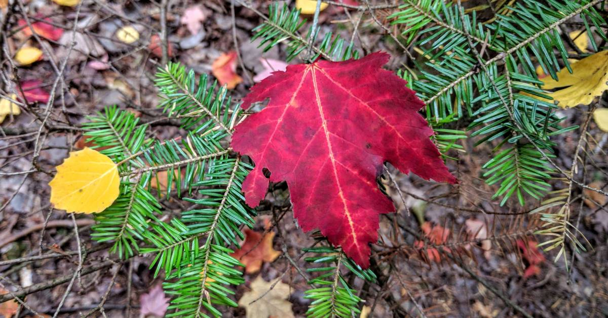 fall foliage red leaf on branch