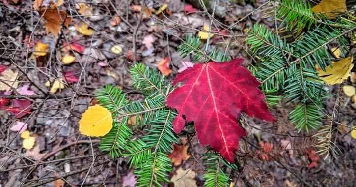 fall foliage red leaf on ground