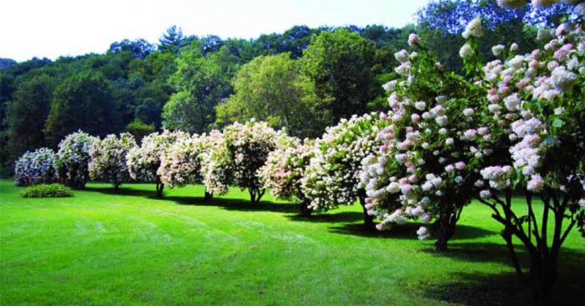 hydranga shrubs