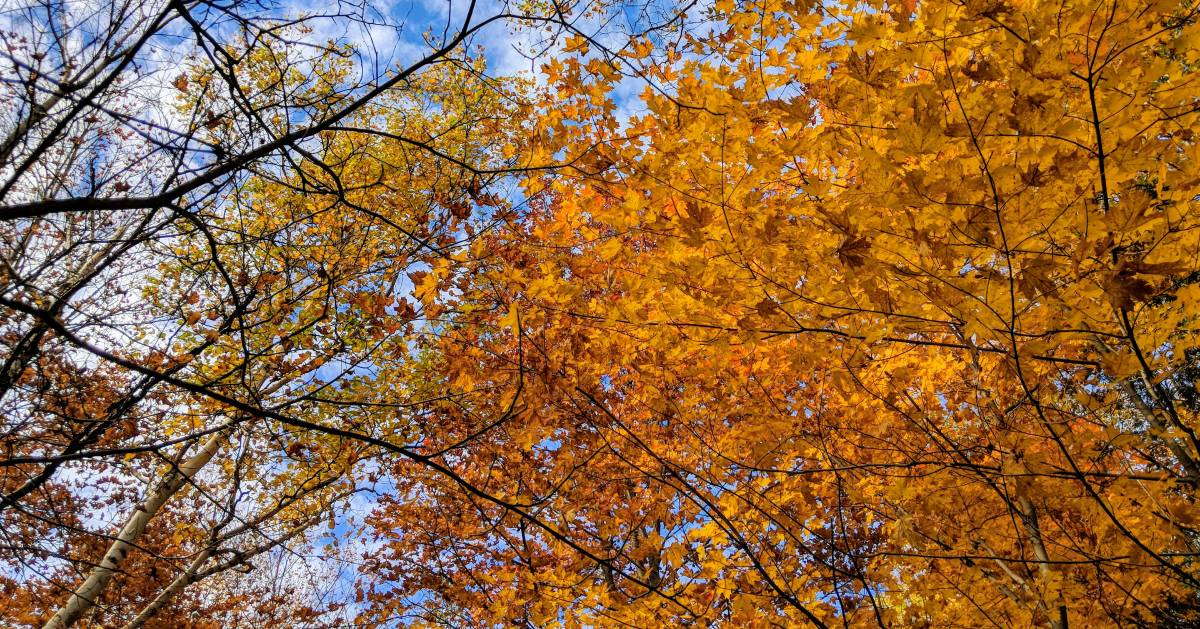looking up at trees with golden colored foliage