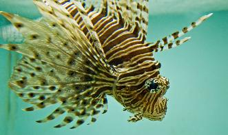 Lion Fish At Aquarium
