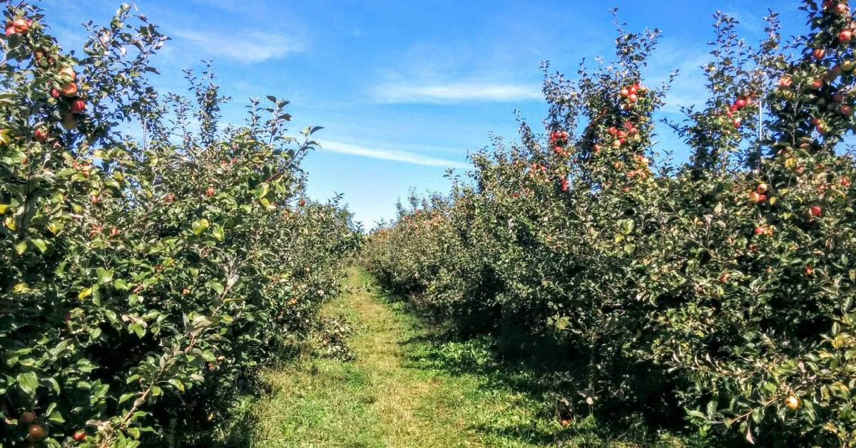 rows of apple trees in an orchard