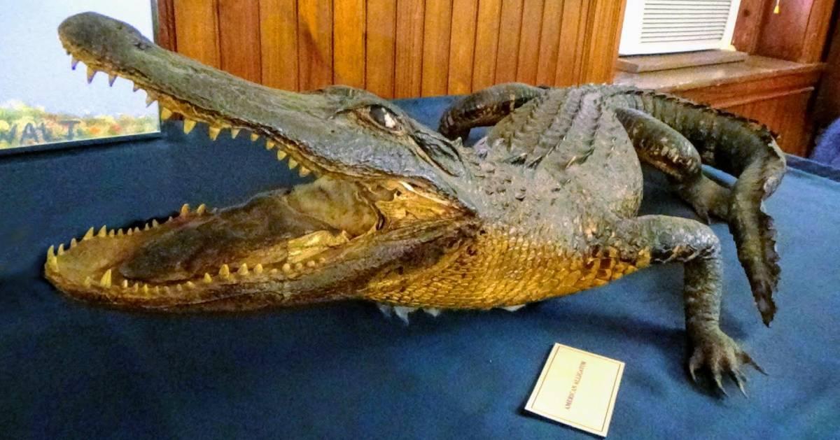 gator in a museum
