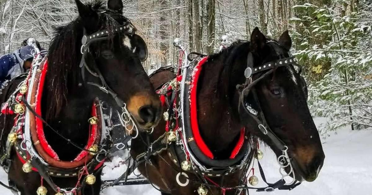 two sleigh horses