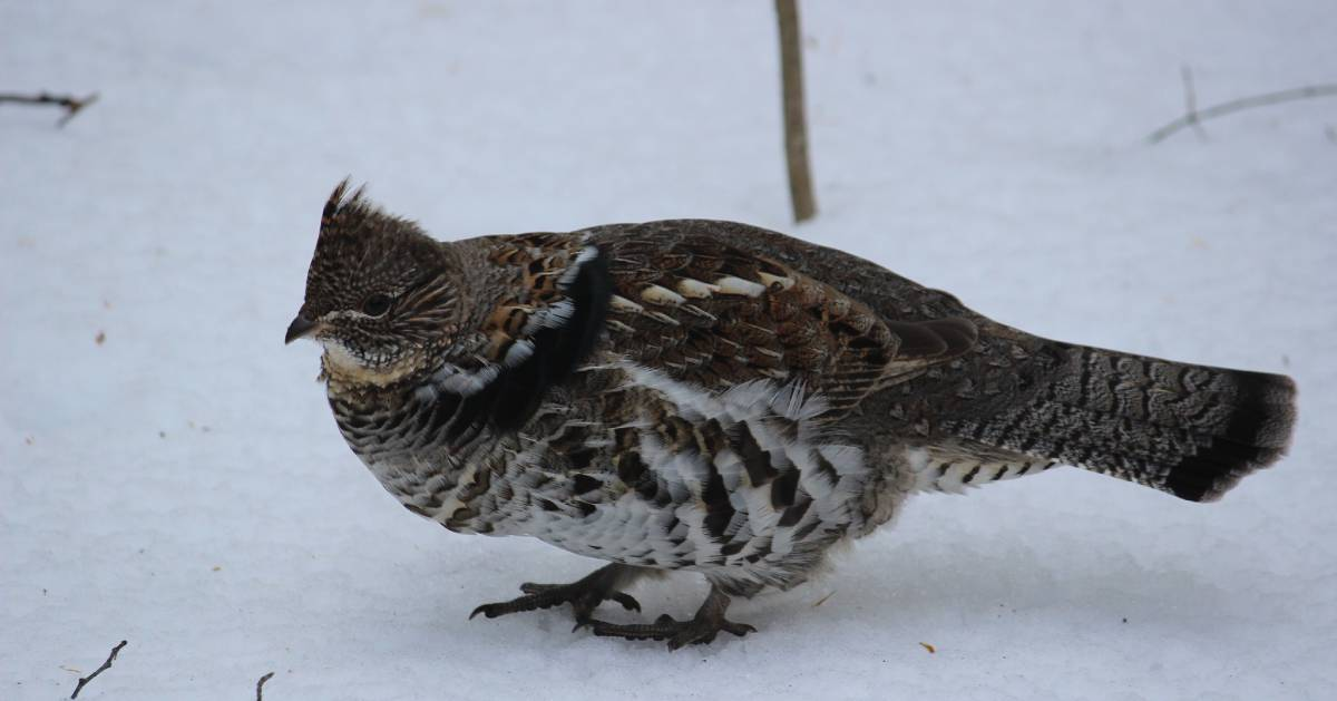 a ruffed grouse standing in the snow