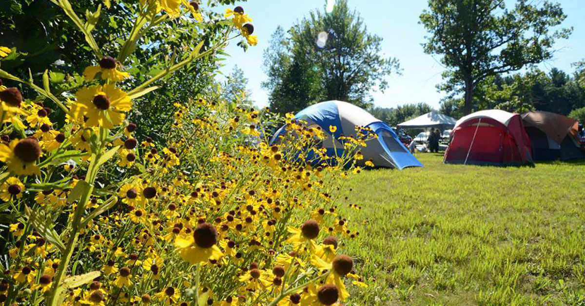 sunflowers in foregrand, tent camping in background