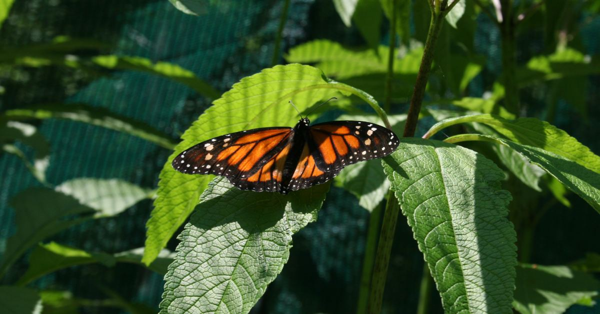 a monarch butterfly at up yonda farm
