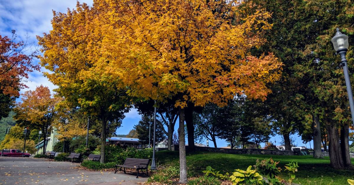 tree with yellow foliage by bench