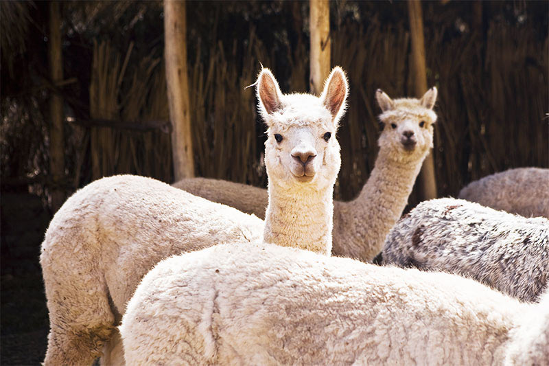 Two white alpacas looking at the camera