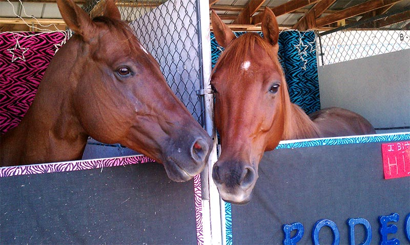 Close up of two chesnut colored horses at the Altamont Fair