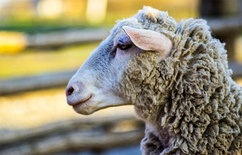 Close up of a sheep on display at the Fonda Fair