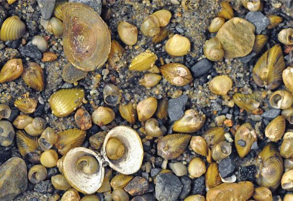 asian-clams