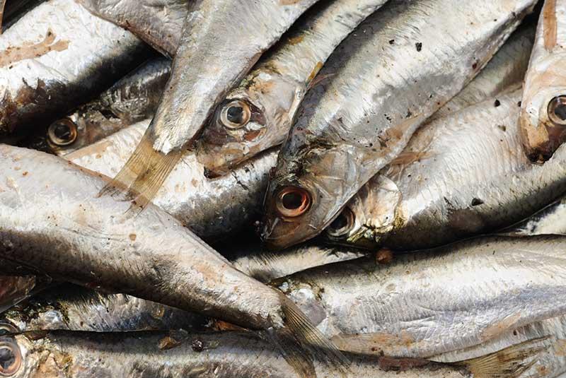 smelt fish