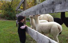 a girl near small lambs