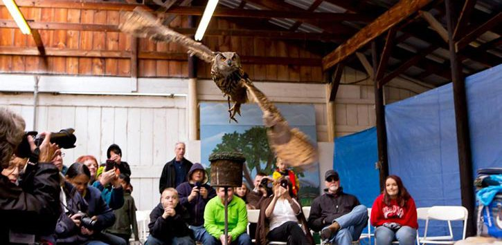 horned owl flying in room