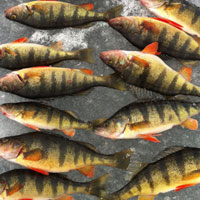 Yellow Perch caught on Lake George